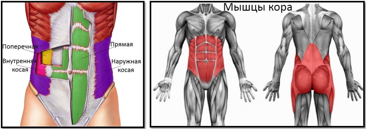 Где находятся мышцы кора , схема